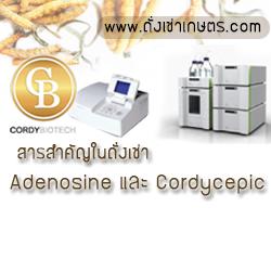 สารสำคัญในถั่งเช่า Cordycepic ในถั่งเช่าคอร์ดี้ไทย